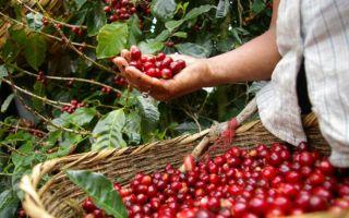 Как собирают урожай кофе?