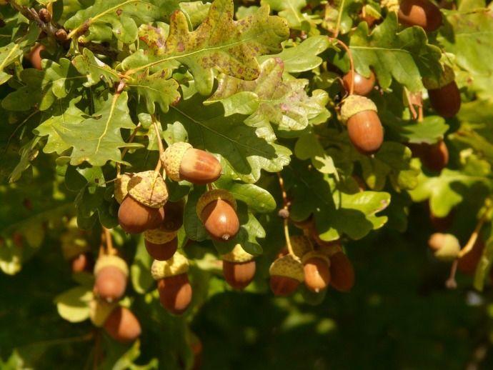 желуди в листве