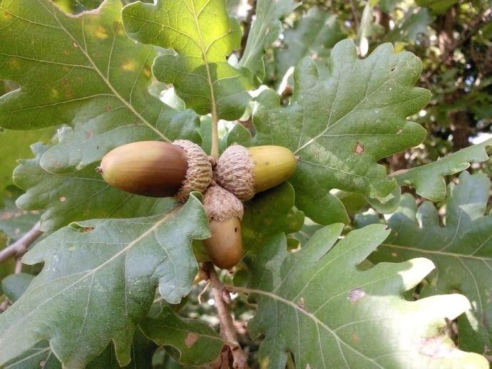 дубовые листья с желудями