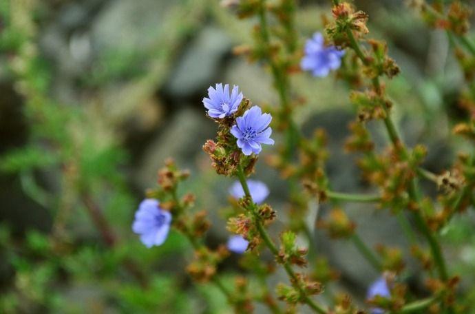 Цикорий растение