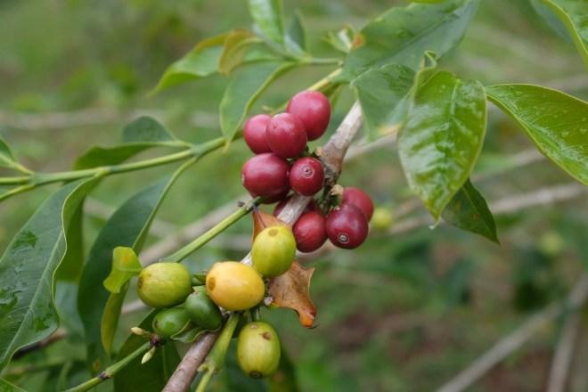 кофейные плоды на ветке
