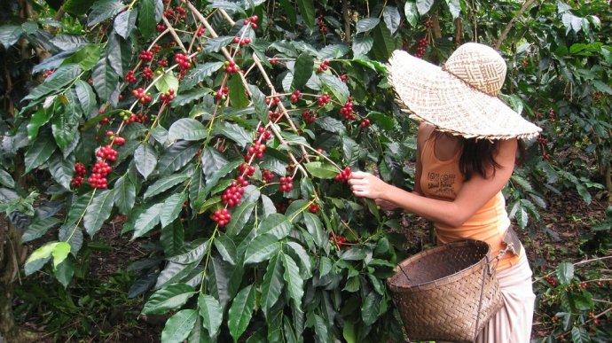 сбор ягод кофе