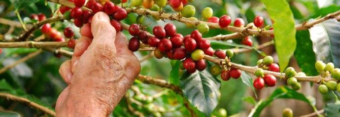 ручной сбор кофе