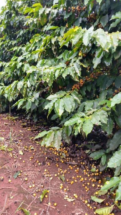 палые ягоды кофе
