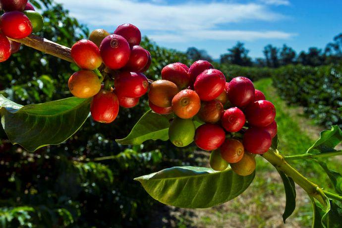 разновидности и сорта кофейных деревьев