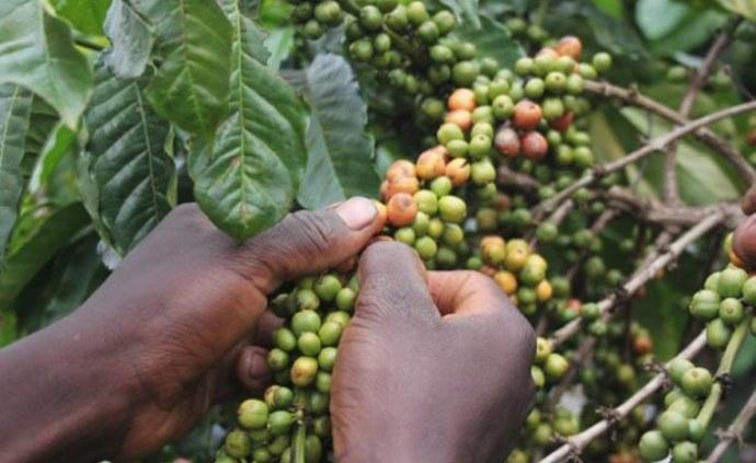 кофе эфиопии