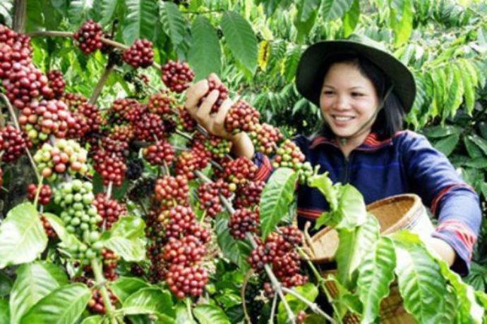 сбор кофе в Индонезии