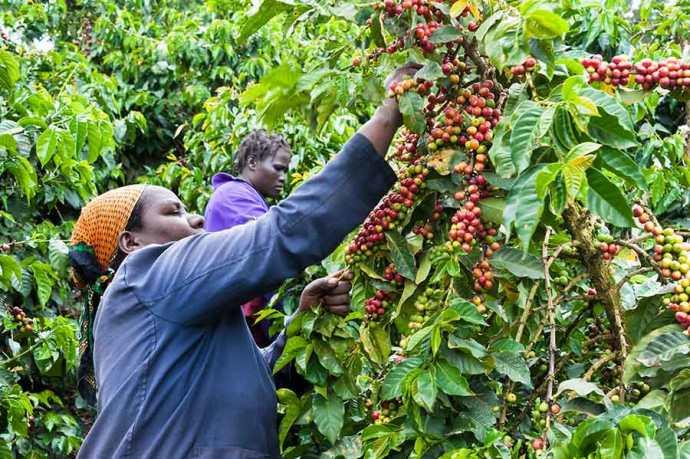 сбор кофе в кении