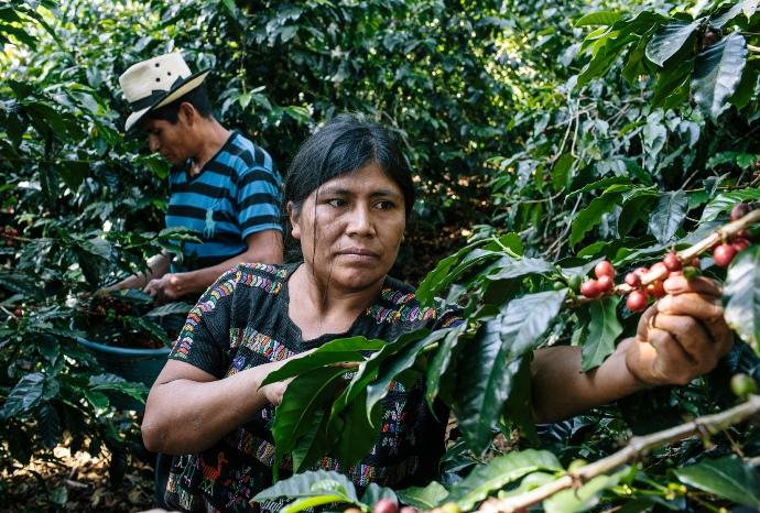 сбор кофе в Сальвадоре