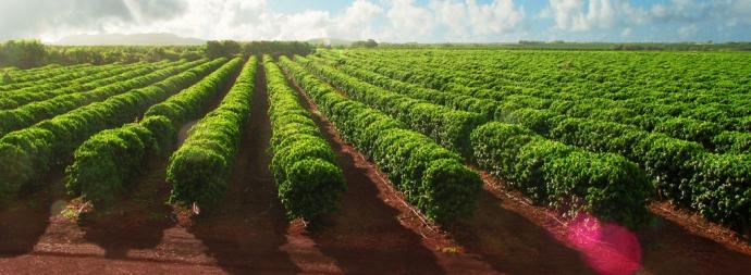 Кофейные фермы острова Кауаи