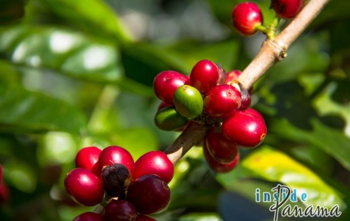 Выращивание кофе в Панаме