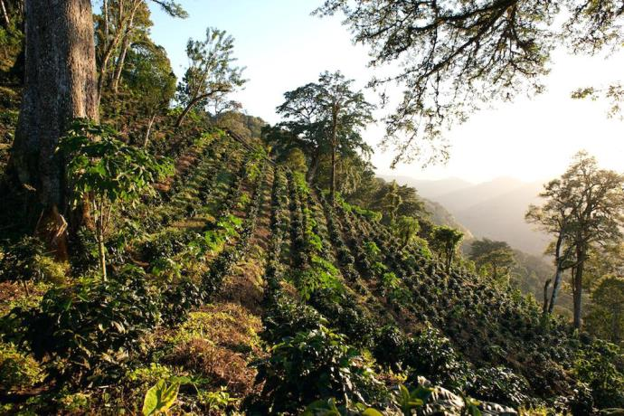 кофейные плантации в Никарагуа