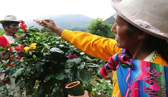 сбор кофе в Перу